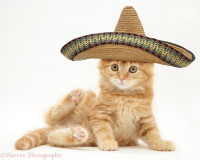 19634-Ginger-Maine-Coon-kitten-with-sombrero-hat-o.jpg